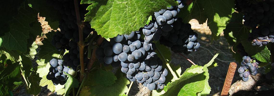 Brooklyn Winery Wine Grapes