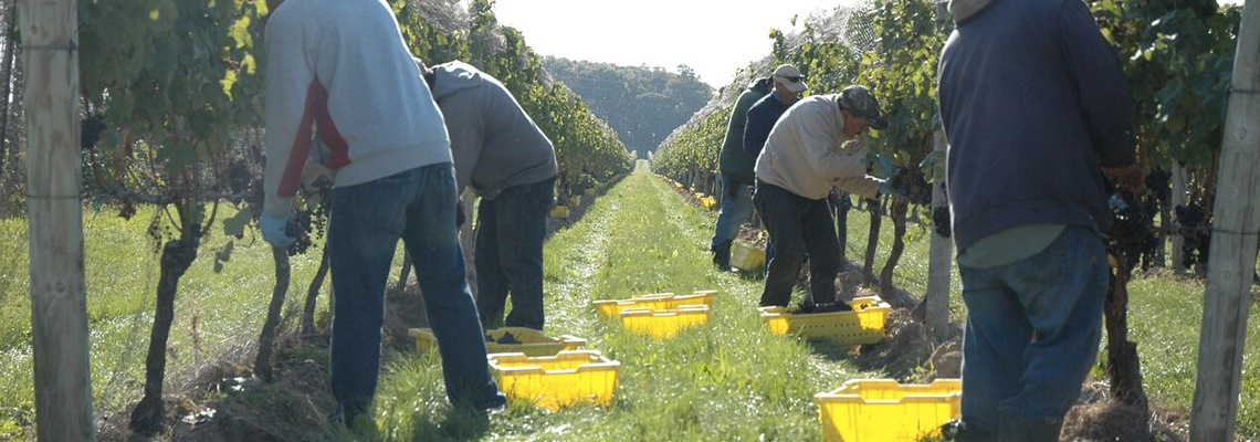 Winemaking-Section-Harvest-04